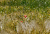 Red poppy in wheat — Stock Photo