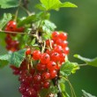 Red currant bush — Stock Photo #1136152