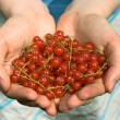 Hands full of red currant berries — Stock Photo #1136153