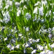 Glory-of-the-Snow (Chionodoxa forbesii) — Stock Photo
