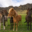 Group of icelandic horses - Stock Photo