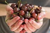 Hands full of fresh ripe cherr — Stock Photo