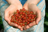 Hands full of red currant berries — Stock Photo