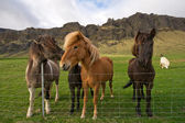 Group of icelandic horses — Stock Photo