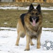 Shepherd - Stockfoto