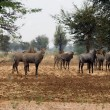 Stock Photo: Nilgai Antelopes Under In Desert