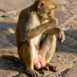 Monkey in Pink City Jaipur, India — Stock Photo #1134534