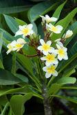 Frangipani (plumeria) flowers — Stock Photo