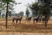 Nilgai Antelopes Under In Desert — Stock Photo