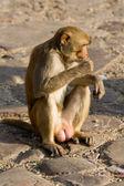 Monkey in Pink City Jaipur, India — Stock Photo