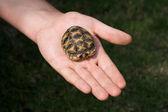 Baby Turtle On Human Hand — Stock Photo