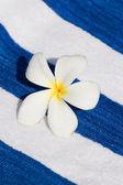 Frangipani Tropical Flower — Stock Photo
