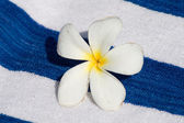 Frangipani Tropical Flower — Stock Photo