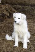 Snowy white beautiful puppy dog — Stock Photo
