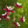 Aquilegia — Stock Photo #1141506