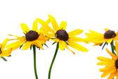 Yellow rudbeckia — Stock Photo