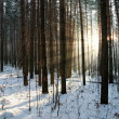 Winter forest — Stock Photo #1206767