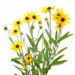 Yellow rudbeckia — Stock Photo #1231028