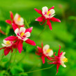 Aquilegia — Stock Photo