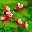 Aquilegia — Stock Photo #1638728