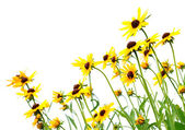 Yellow rudbeckia — Stock Photo