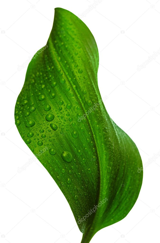 Green leaf with drops of water on white background — Stock Photo #2044479