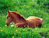 Chestnut foal — Stock Photo
