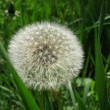 Dandelion in field — Stock Photo