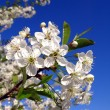 Cherry-tree — Stock Photo #1474564