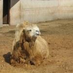 Orange camel — Stock Photo