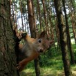 Squirrel on the tree — ストック写真