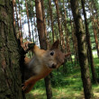 Squirrel on the tree — Foto de Stock