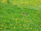 Dog in dandelion field — Stock Photo