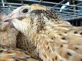 Nice quail sits in the crate for carrying — Stock Photo