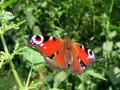 Beautiful peacock butterfly — Stock Photo