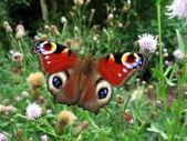 Peacock butterfly in field — Stock Photo
