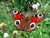 Red peacock butterfly — Stock Photo