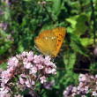 Small red butterfly on flowers — Stock Photo #2405700