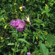 Swallowtail on flower — Stock Photo