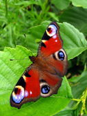 Peacock butterfly on leaf — Stock Photo