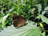 Velvet butterfly on leaf — Stock Photo