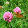 Small butterfly on the flower — Stock Photo
