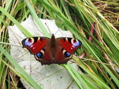 Peacock butterfly on the leaf — Stock Photo
