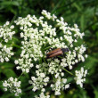 Bug on the flowers — Stock Photo