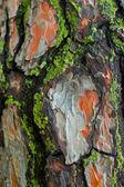 Piny bark with moss — Stock Photo