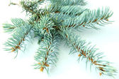 Branch of a blue spruce — Stock Photo