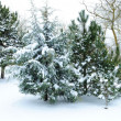 Snow-covered fir-tree - Stock Photo