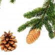 The branches of spruce with fir cones — Стоковая фотография