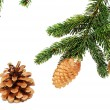The branches of spruce with fir cones - 