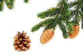 The branches of spruce with fir cones — Stock Photo